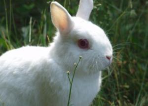 lapin nain polonais | lapin domestique