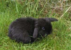 Lapin nain bélier | lapin domestique