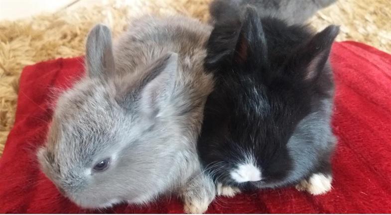 lapins nains angora
